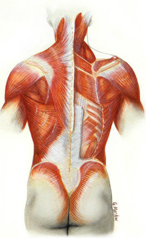Anatomical rendering of the superficial and deep muscles of the back.